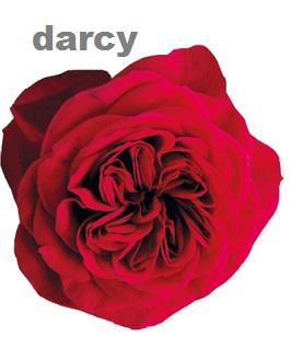 David Austin® Darcey™