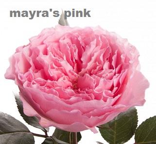Mayra's Pink
