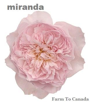 David Austin® Miranda™