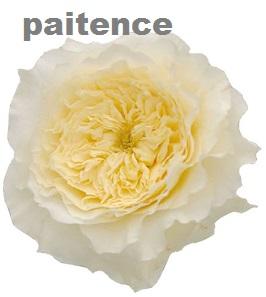 David Austin® Patience™