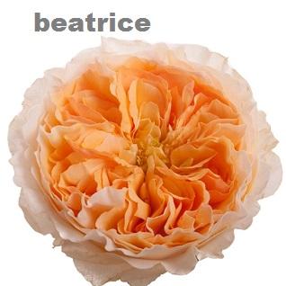 David Austin® Beatrice™