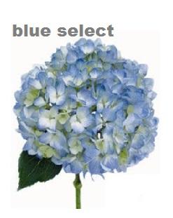 Select Blue