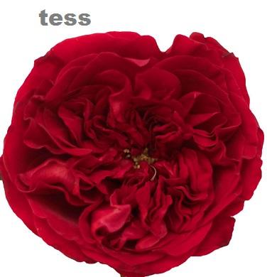 David Austin® Tess™
