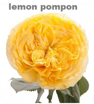 Lemon Pompon