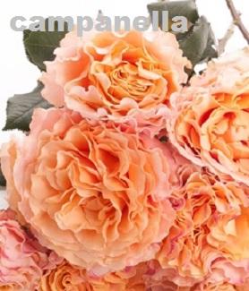 Campanella Peach