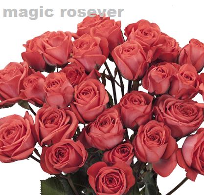 Magic Rosever