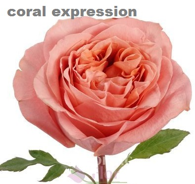 Coral Expression