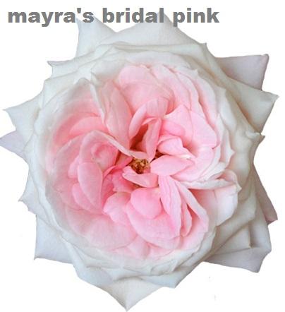 Mayra's Bridal Pink