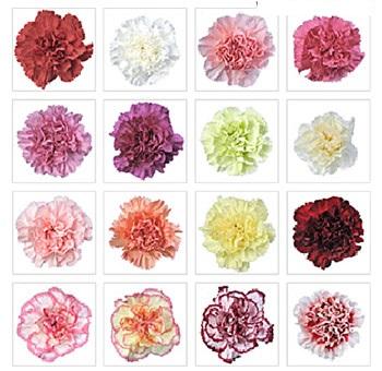 Novelty Carnations