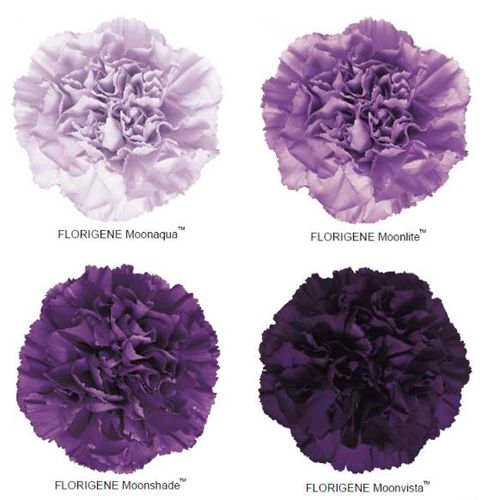 Purple Moonseries Carnations